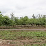 plantación INSIMA