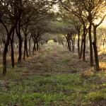 plantacion-algarrobo